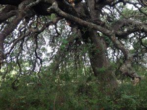 Deadwood Removal in San Antonio